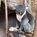Rio Grande Zoo (Albuquerque, NM) - Koalas!!!