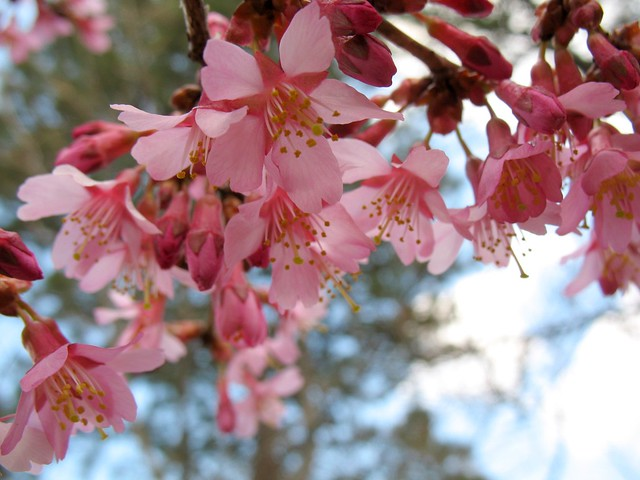 Prunus 'Okame' Photo by Medi Blum.