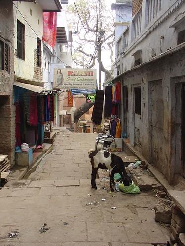 Goat in Alleyways of Varanasi