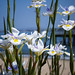Bayside Iris by Ginny Griffin