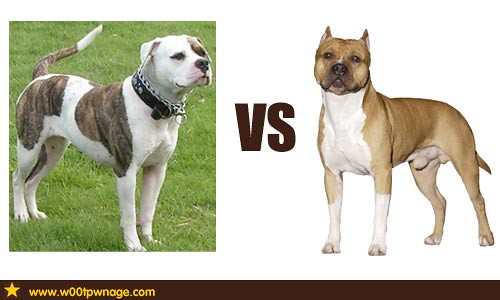 American Bulldog vs American Staffordshire Terrier | Flickr - Photo ...