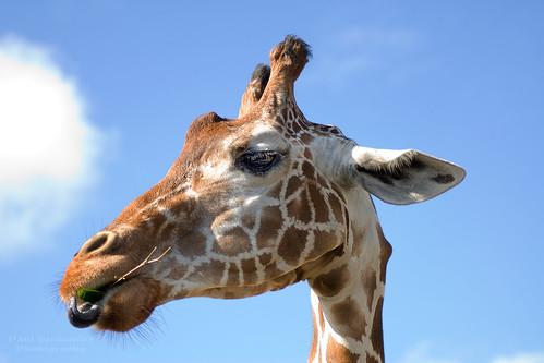 miami giraffe metrozoo miamimetrozoo reticulatedgiraffe giraffereticulated