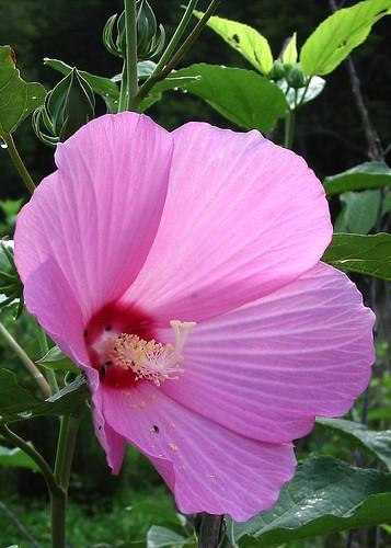 pink geotagged native tennessee hibiscus malvaceae wildflower hibiscusmoscheutos swamprosemallow andersonco bigridgesp geo:lat=36245761 geo:lon=83924882