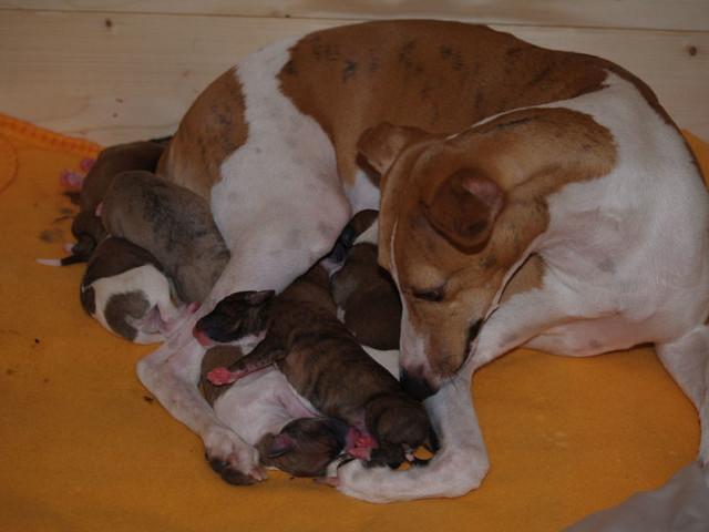 Animagi Welpen (Whippet) / puppys; 1 day old