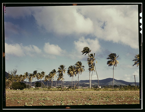 Palm trees along the road, vicinity of Christiansted, Saint Croix, Virgin Islands (LOC)