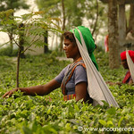 Indian Woman Picking Tea - West Bengal, India