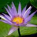 lilás-ninféia