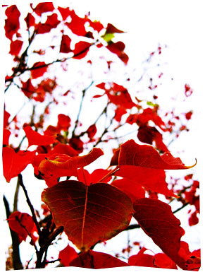 Red leaves of Autumn
