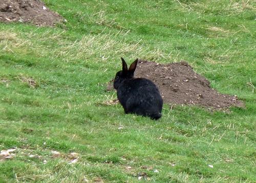 'Melanistic' Rabbit - Oryctolagus cuniculus