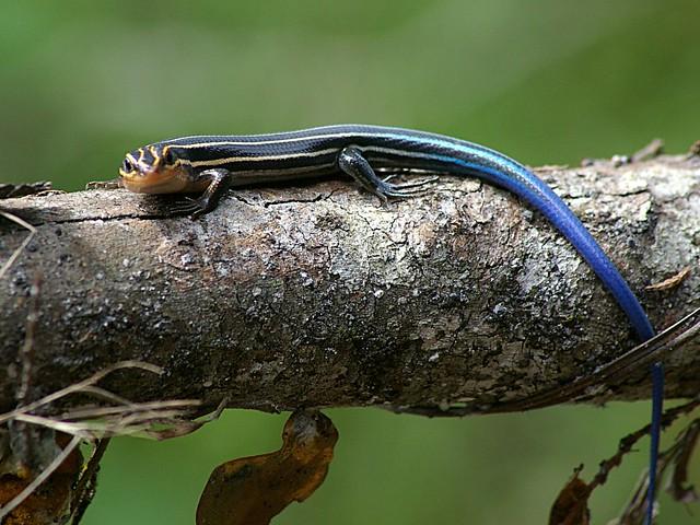 Five Lined Skink Juvenile (blue tailed skink)