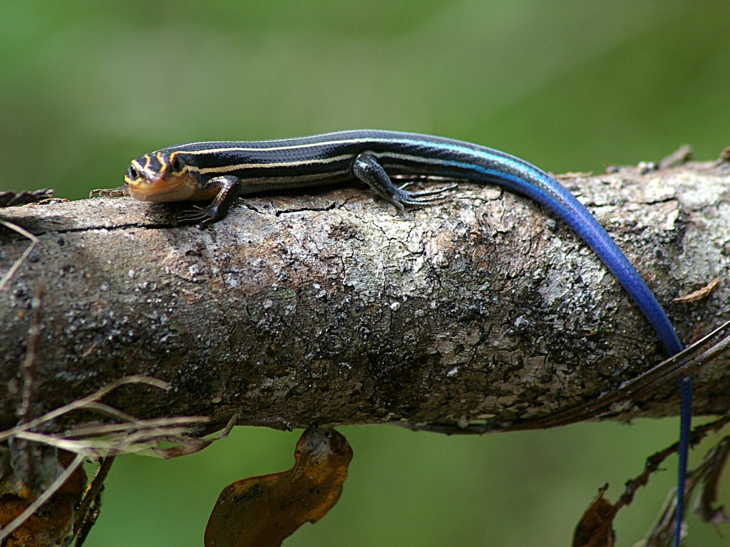 blue tailed skink coloring pages - photo#25