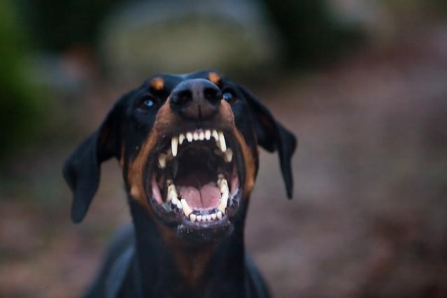 angry doberman pinscher - photo #9