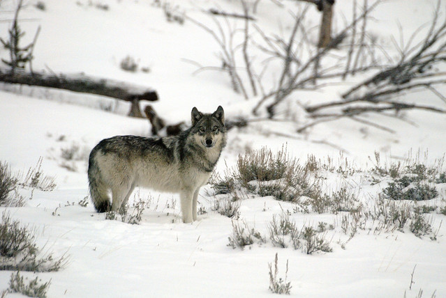 Photo of Yellowstone Wolf