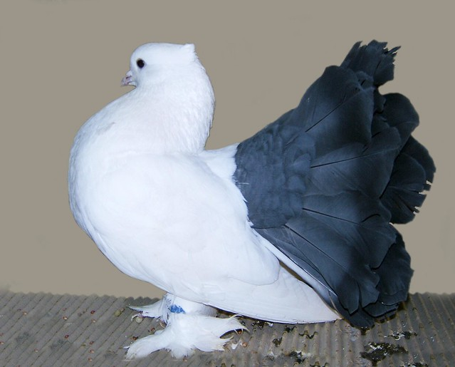 white pigeon hindu single men A release dove, also called white pigeon, is a breed of rock dove  the 12 dove in which a single dove is first released, followed by twelve doves.