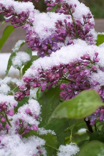 lilac bush in snow by tribbles1971