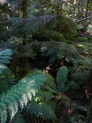 Rainforest Gallery Mt Donna Buang Warburton Yarra Ranges National Park (1)