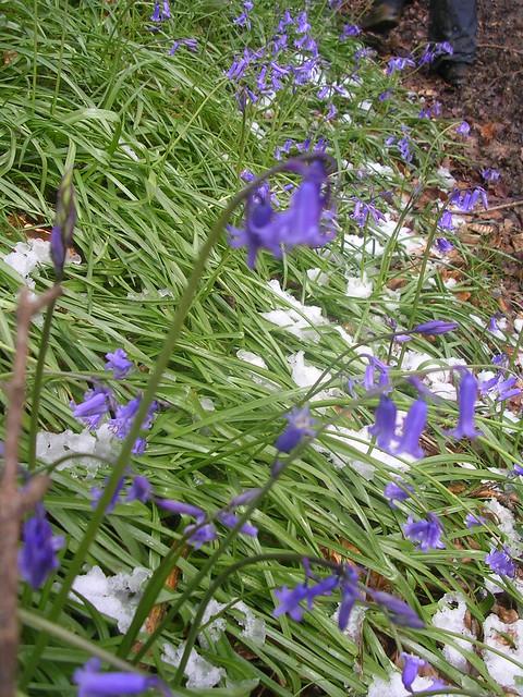 bluebells in snow