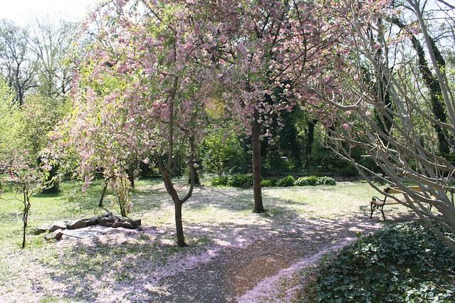 Füvészkert-cseresznye virágzás