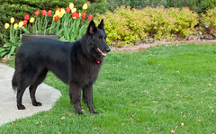 german shepherd dog(0.0), eurasier(0.0), norwegian elkhound(0.0), belgian shepherd malinois(0.0), bohemian shepherd(0.0), wolfdog(0.0), saarloos wolfdog(0.0), dog breed(1.0), animal(1.0), dog(1.0), dutch shepherd dog(1.0), pet(1.0), tervuren(1.0), groenendael(1.0), belgian shepherd(1.0), east-european shepherd(1.0), shiloh shepherd dog(1.0), carnivoran(1.0),