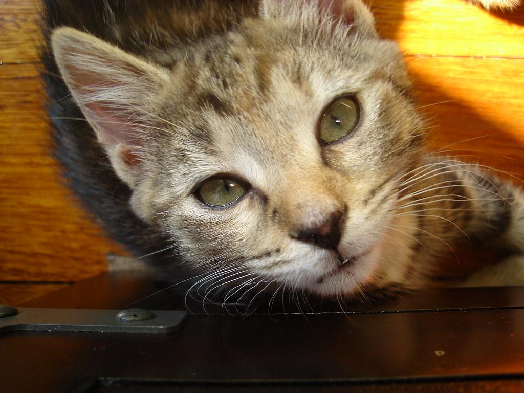 foster kitten Tabby