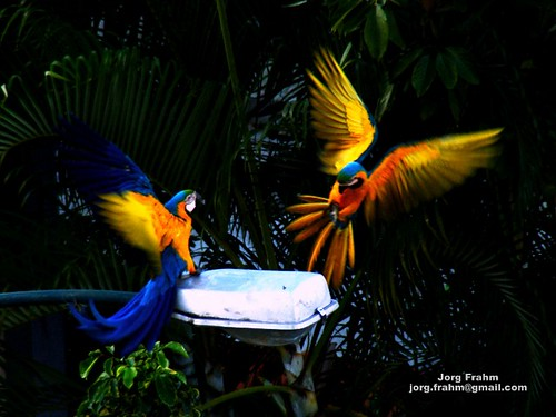 I'm back! Two free Blue-Golden Macaws in Caracas!