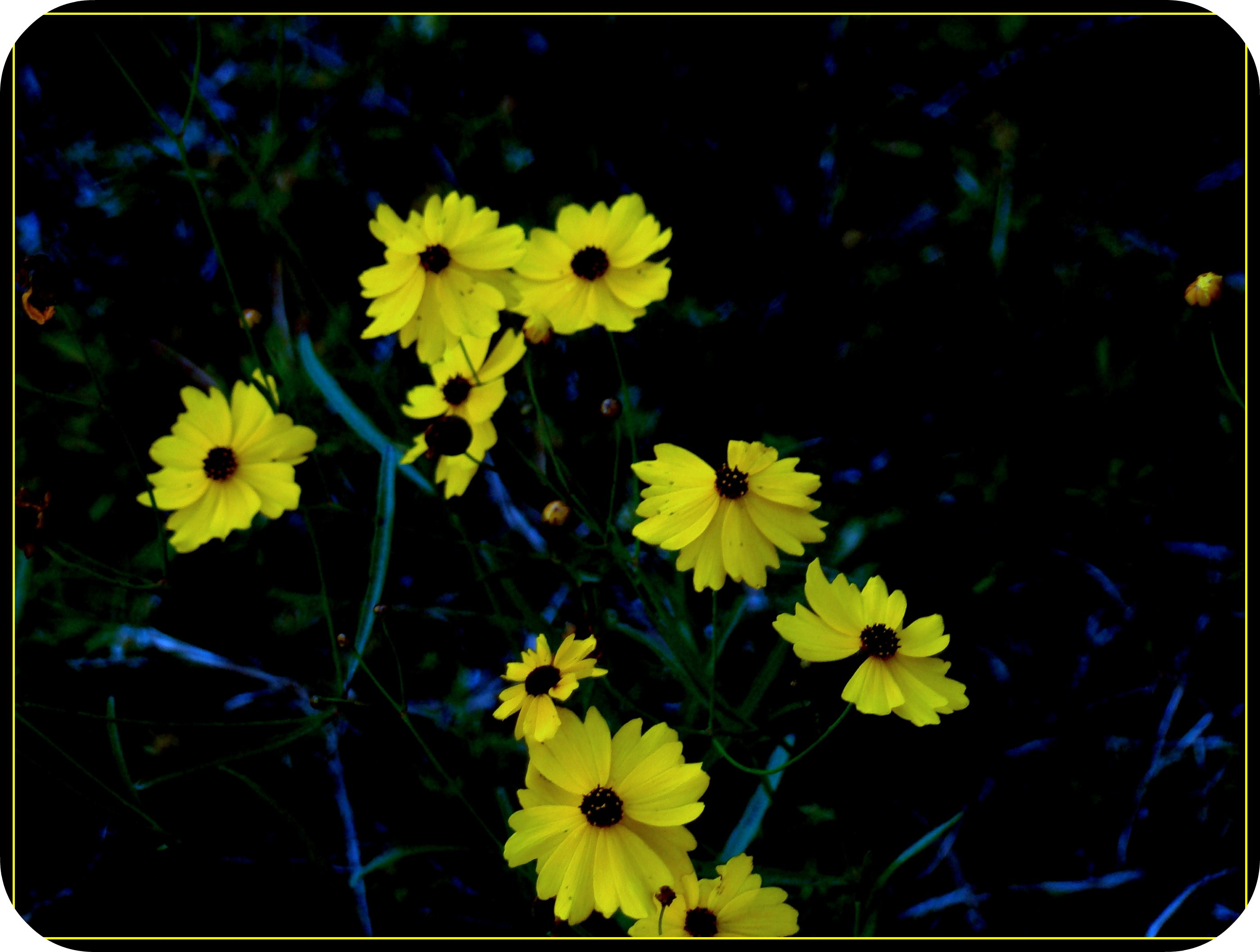 Florida state flower yellow makes me smile very abound…