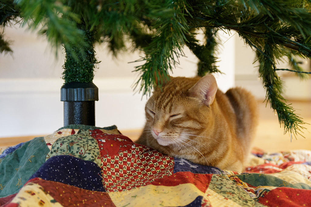 Our cat Sam sleeps under the Christmas tree