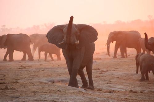 辛巴威萬蓋國家公園(Hwange National Park)中的一群大象。(圖:travfotos)