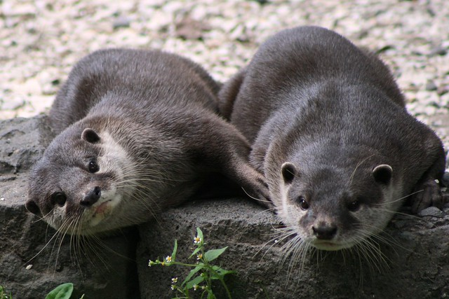 Playful Otters at Auckland Zoo | Flickr - Photo Sharing!