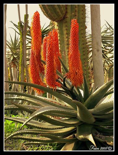 El informal de fran la flor de aloe vera - Como es la planta de aloe vera ...
