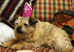 dog breed, animal, dog, pet, norfolk terrier, glen of imaal terrier, mammal, morkie, border terrier, cairn terrier, terrier,