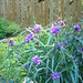 Spiderwort by walk gate