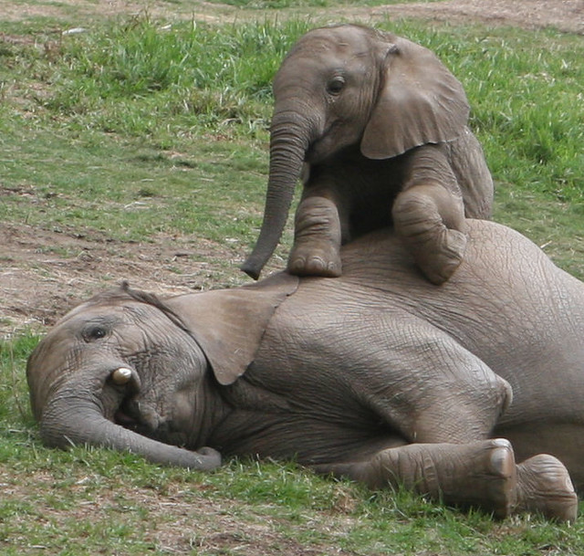 Baby elephant Impunga sits up on his big brother Vus'musi, they are best friends.