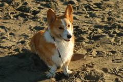 dingo(0.0), street dog(0.0), icelandic sheepdog(0.0), dog breed(1.0), animal(1.0), dog(1.0), pet(1.0), pembroke welsh corgi(1.0), norwegian lundehund(1.0), carnivoran(1.0), welsh corgi(1.0),