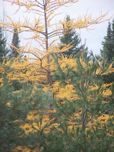 Tamarack Tree Deciduous Needles Flickr Photo Sharing