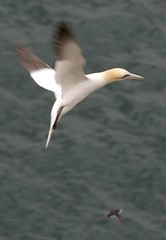 animal, wing, fauna, gannet, beak, bird, flight, seabird,