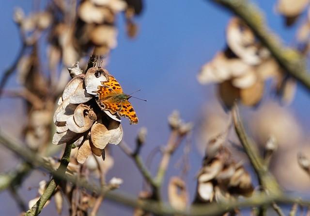 Schmetterling, Sony ILCA-77M2, Tamron SP 150-600mm F5-6.3 Di USD