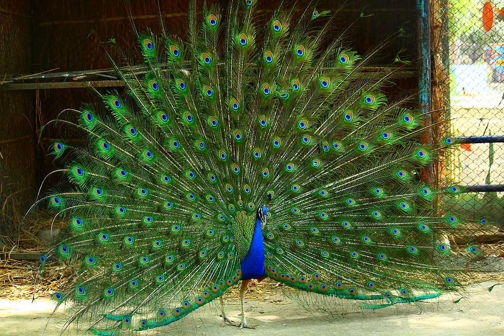 essay on national bird of india