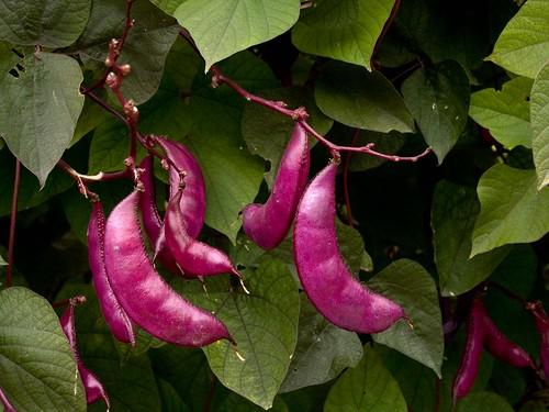 Hyacinth beans (Lablab purpureus)