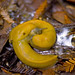 Pacific Banana Slug - Photo (c) Sathish J, some rights reserved (CC BY-NC-ND)