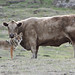 Small photo of Cow and Coyote