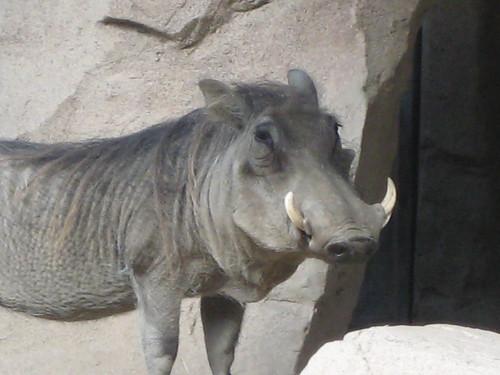 Handsome warthog