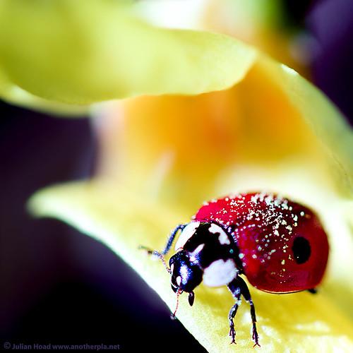 macro bokeh ladybird ladybug bling pollen anotherplanet efs60mmf28macrousm hbw