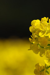 Rape blossoms : 菜の花
