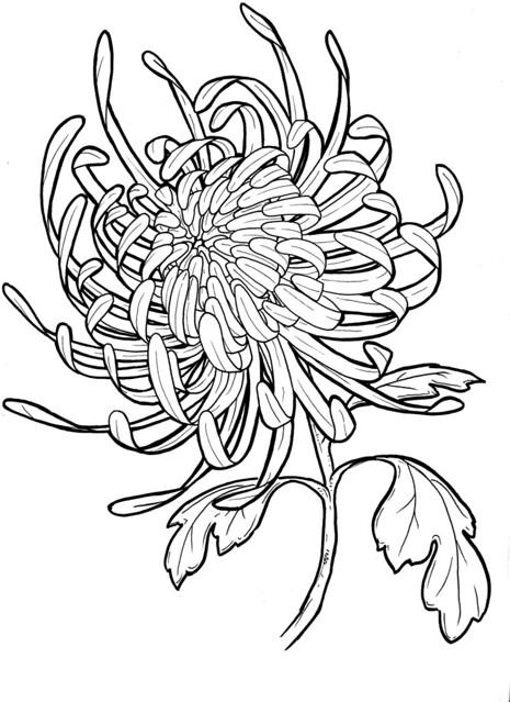 Chrysanthemum Flower Line Drawing : Chrysanthemum flickr photo sharing