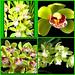 My green orchids. by Elisabeth Gaj