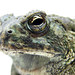 North American Toads - Photo (c) Matt Reinbold, some rights reserved (CC BY-SA)