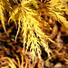 yellow japanese maple leaves    MG 5459