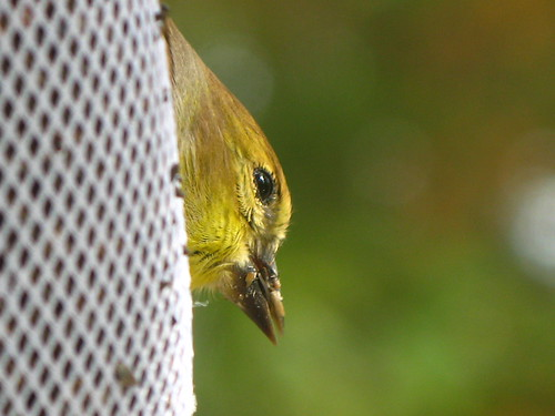 bird window goldfinch americangoldfinch g7 finchsock viewfromthewindow adairsvillega finchfeeder uisforupsidedown