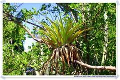 20041016_Guana@BVI_Bromilia_002_A